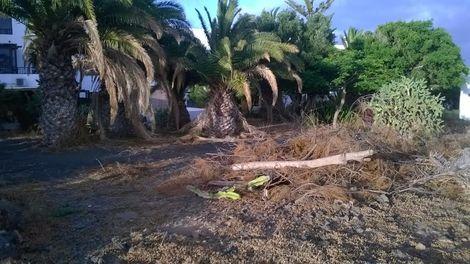 palmeras Costa Teguise