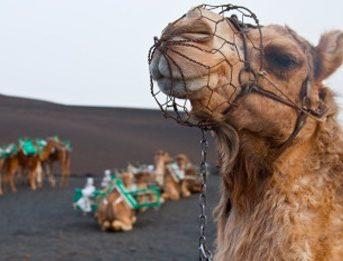camellos Lanzarote